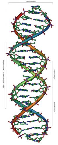 Το DNA μοιάζει με στριφογυριστή σκάλα!